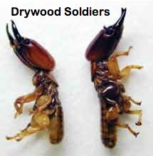 Drywood Soldiers